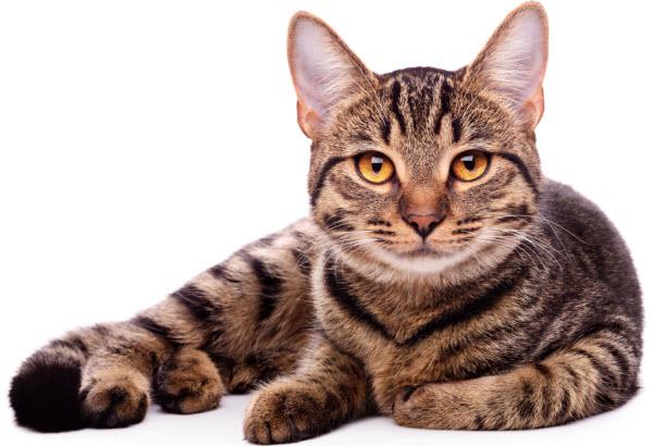 Vetaround - a staring cat