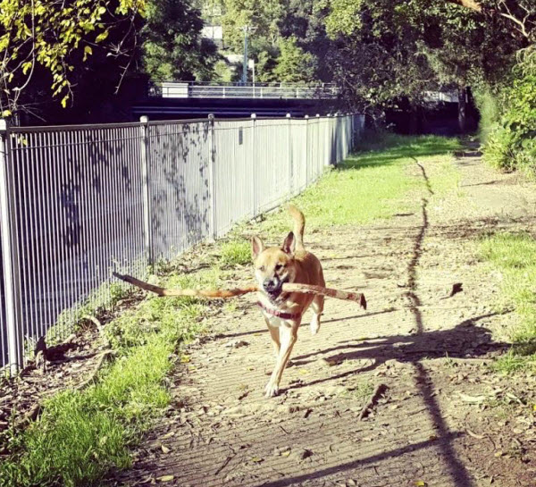 Vetaround - A dog is running with a piece of wood in his mouth