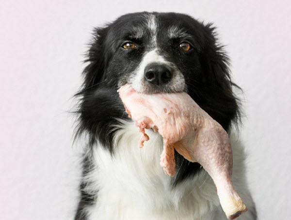 Dog eating raw chicken