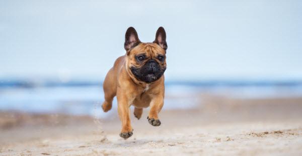 Vetaround - Adorable-red-french-bulldog-dog-on-a-beach