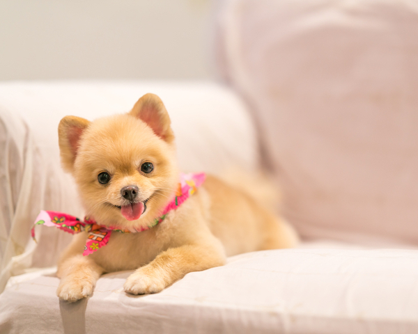 Cute Pomeranian sitting on the couch