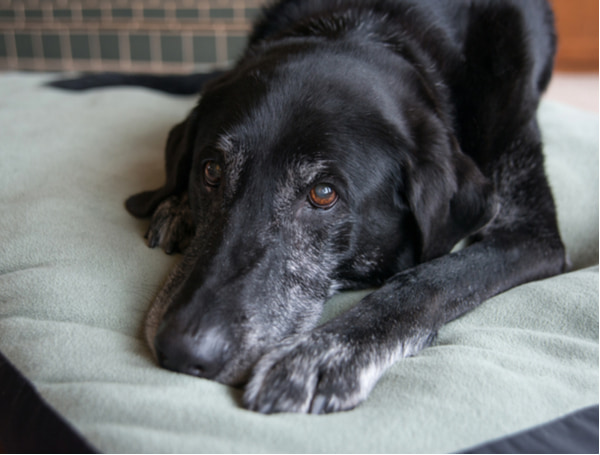 Black dog with gray muzzle relaxing at home