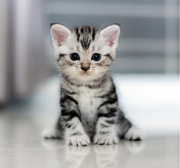 Cute shorthair kitten