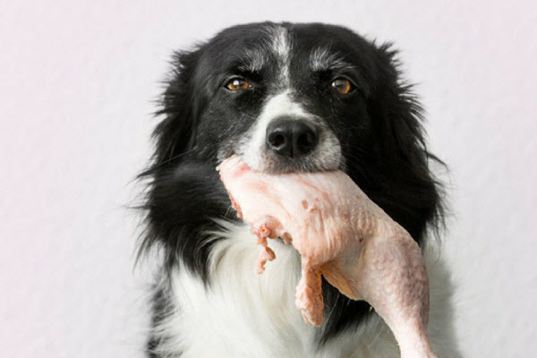 Does Raw Chicken Cause Paralysis in Dogs? New Research Says Yes…