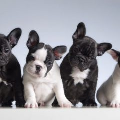 Seven essential facts to know about French Bulldogs