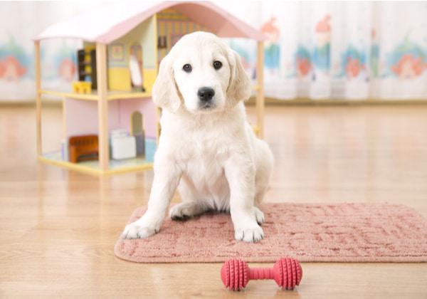 Golden retriever puppy sitting on the floor