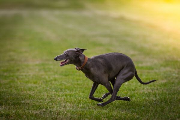 Thinking about adopting or fostering a greyhound?