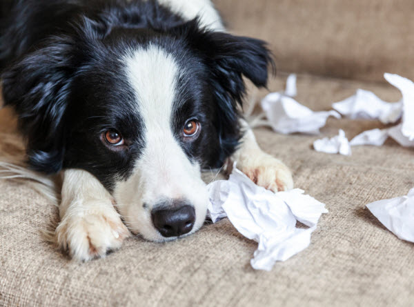 Vetaround - Guilty-dog-and-destroyed-living-room