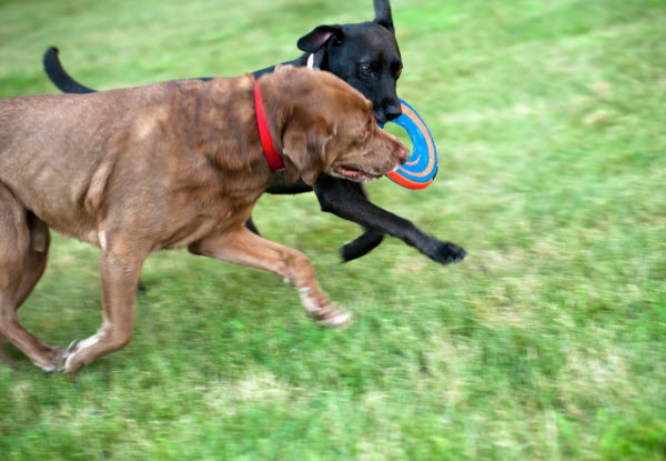 Vetaround - Two-labrador-retrievers-competing-over-a-frisbee-and-running-through-the-grass