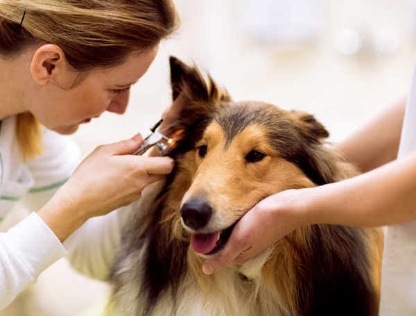 Veterinarian checking the dog using a otoscope