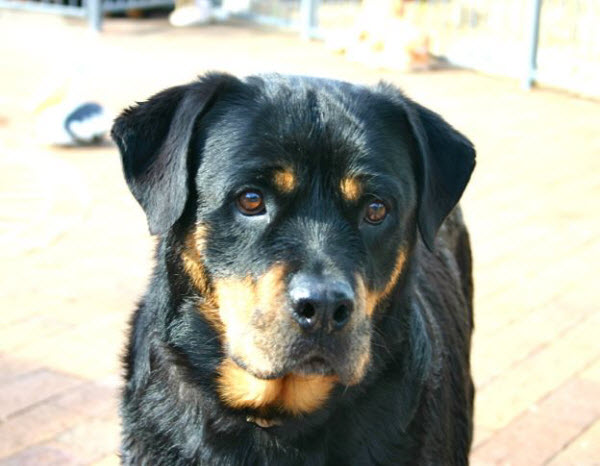 Emergency veterinary house call to dog attack victim