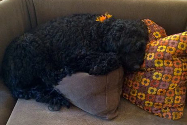 Curly dog on the couch