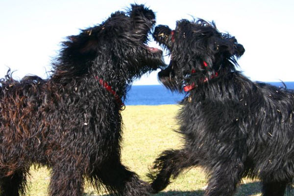 Two curly black dogs