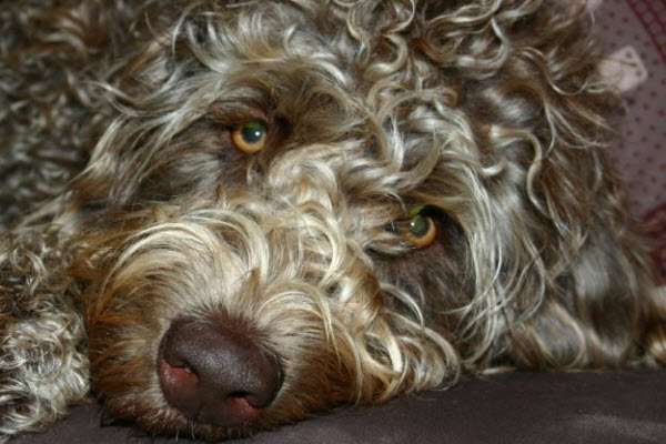Curly brown dog