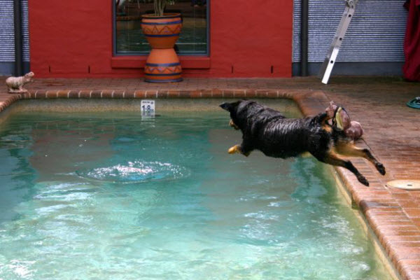 Dog jumping to the pool