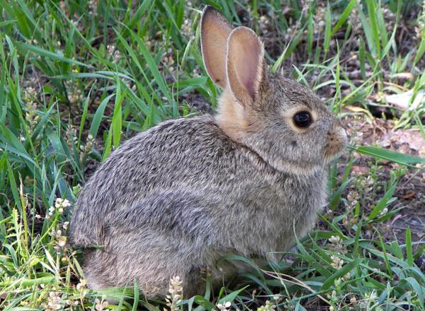 Rabbit diets and dental care – the mobile myth-busting vet!