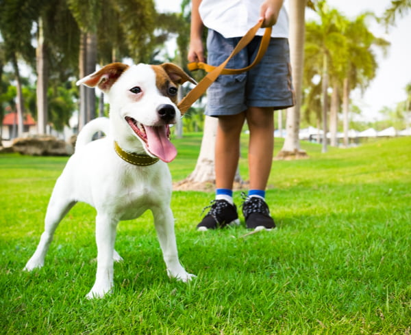jack russell dog with owner and leather leash