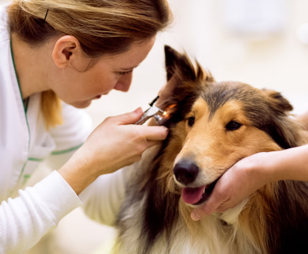 Team of veterinarian check sick ear of a dog