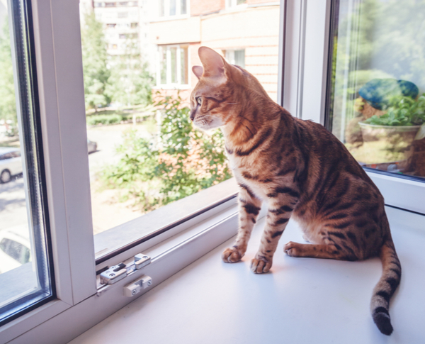 VA- Bengali cat breed sits on the windowsill