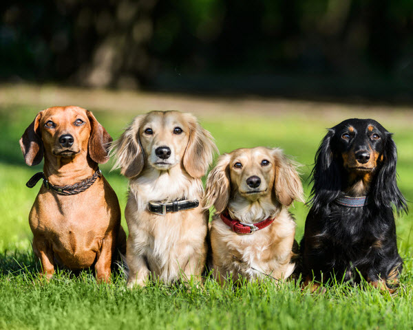 Four dachshund dogs sitting in row on grass