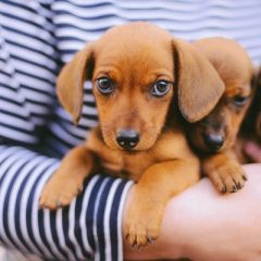 Six essential facts about dachshunds