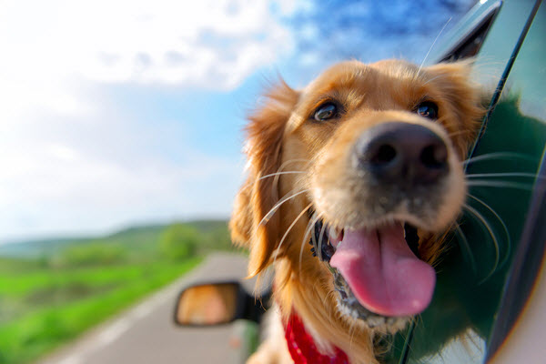Golden Retriever looking out on the window of the car
