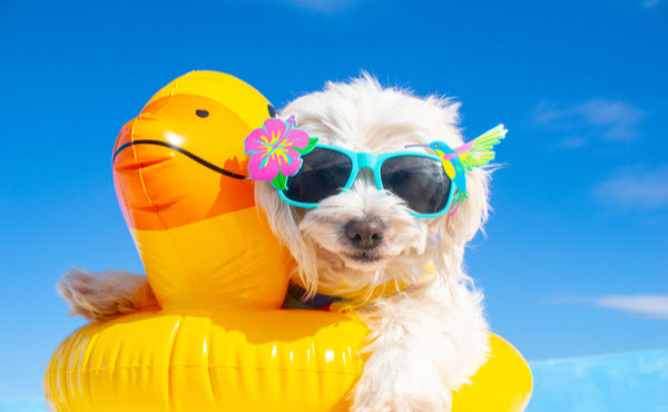 Dogs with sunglasses sitting on a duck float